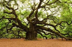oak trees 46 wujinshike com