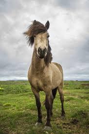 Massachusetts travel pony images 378 best icelandic horses images icelandic horse jpg