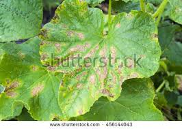 Plant Pests And Diseases - plant disease stock images royalty free images u0026 vectors