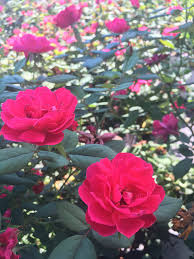 colorful roses enhance your landscape with colorful roses chambersville tree farm