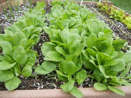 backyard vegetable garden with spinach vegetable gardening with
