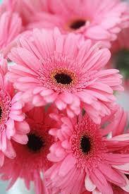 Gerbera Daisies 153 Best Gerbera Daisies Innocence Images On Pinterest Flowers