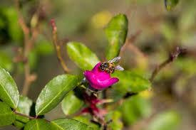 free photo rosa ornamental flower garden free image on