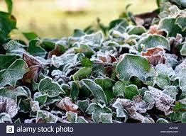 hedera ivy ivies climbing ground creeping evergreen woody plants