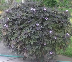 plantfiles pictures ornamental sweet potato sweet potato vine