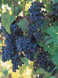 Growing Grapes Trellis 32 Best Growing Grapes Images On Pinterest Growing Grapes Grape