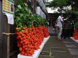 japanese lantern plant insight into japan s beauty a lantern plant is annually