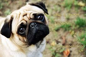 Birthday Pug Meme - nicolaroberts org the best source for nicola roberts