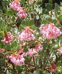 native alberta plants featured plant of the week idyllwild garden club