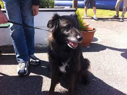 belgian shepherd x greyhound katie a 13 year old collie belgian shepherd cross my