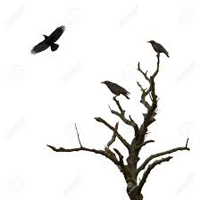dead tree and crows isolated on white stock photo picture and