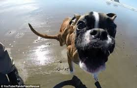 boxer dog youtube two legs good having only front legs is no obstacle to duncan the