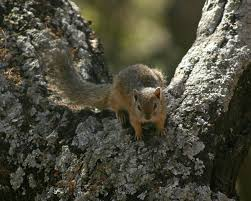 smith u0027s bush squirrel wikipedia