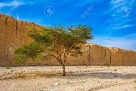 stone desert tree desert acacia tortilis in the black canyon the stone desert