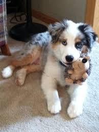 australian shepherd puppies for sale best 25 aussie puppies ideas on pinterest puppies australian