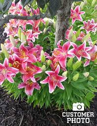 Star Gazer Lily Stargazer Lilies Super Pack 15 Bulbs