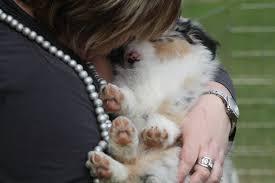 cat with australian shepherd finding a quality breeder skylamere australian shepherds