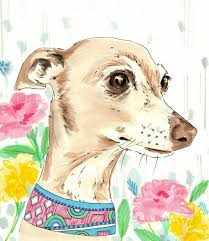 884 best petit levrier italien italian greyhound images on