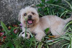 bichon frise funny free images play flower puppy animal cute pet fur small