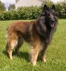 belgian sheepdog hypoallergenic belgian shepherd dog tervuren breed information history health