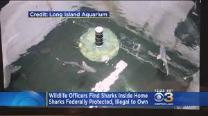 wildlife officers find sharks in swimming pool inside ny home