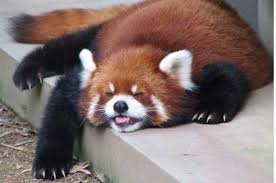 Red Panda Meme - the 27 best red panda gifs of all time