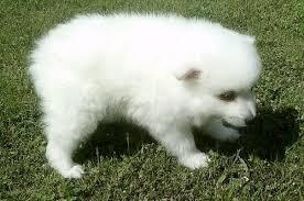 american eskimo dog michigan dog for sale american eskimo puppies for sale american eskimo