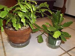 damn plants vs thanksgiving cactus pics