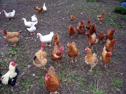 cerco animali da cortile animali da cortile ruspanti roncadizza l禺maghera agriturismo e