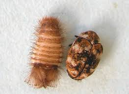 identifying and controlling clothes moths carpet beetles and