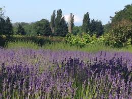 view of mt st helens from sauvie island lavender farm near