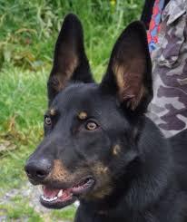 australian shepherd x kelpie theo u2013 9 month old male german shepherd cross dog for adoption