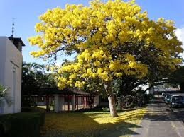 Yellow Flowering Trees - 100 best tabebuia images on pinterest nature plants and places