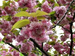 blossom trees cherry blossom trees id 27184 u2013 buzzerg