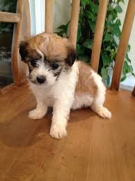 ozzie a bichon frise 18 unreal jack russell cross breeds you have to see to believe