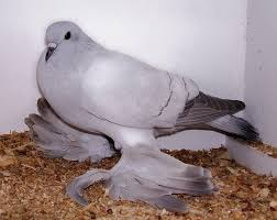 18 most pigeon breeds mnn nature network
