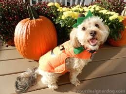 Halloween Costumes Yorkies Happy Halloween Giveaway Win 1000 Ends 10 31 Yourdesignerdog
