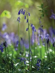 Plants Of Season 4 Joanna by How To Plant And Grow Bluebells Sarah Raven