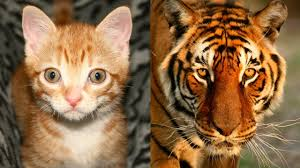 are domestic cats like tigers youtube