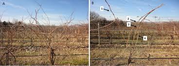 a pruning primer wine u0026 grapes u