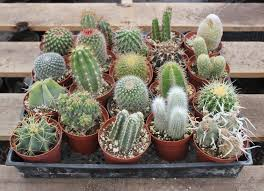 4 assorted ornamental cactus no names wedding succulent