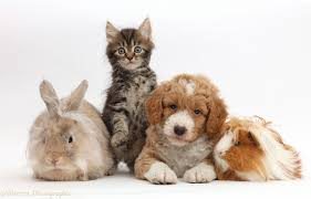 pets tabby kitten goldendoodle puppy bunny and guinea pig photo