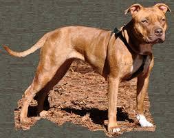 american pitbull terrier merchandise copper apbt puppy ofrn pit bull american pit bull terrier