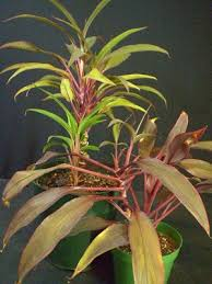 ti plant plants are the strangest party planner cordyline fruticosa
