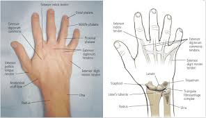 Anatomy Of The Right Arm Hand And Wrist Injuries Part I Nonemergent Evaluation American