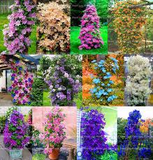 popular climbing plants flowers clematis buy cheap climbing plants