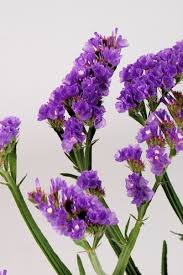 statice flowers t culture purple sinuata statice limonium flowers by