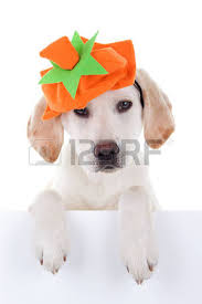 autumn labrador pumpkin puppy and sign for thanksgiving or