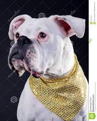 boxer dog white white boxer dog royalty free stock image image 22471616