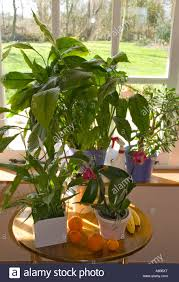 exotic house plants orchids etc peace lily and jade plant stock